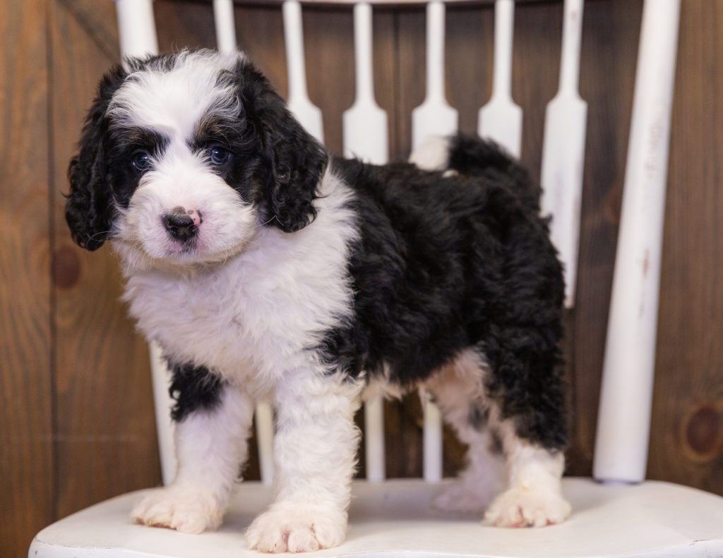 Yello is an F1 Bernedoodle that should have  and is currently living in Nebraska