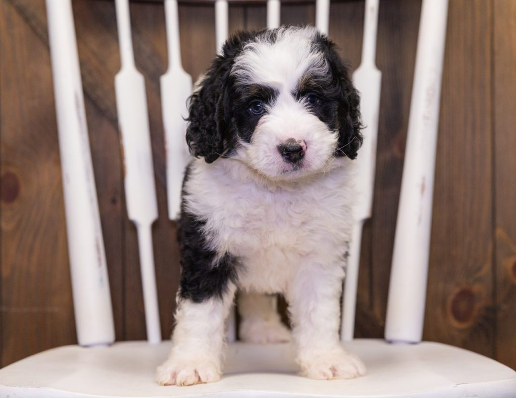 Yello came from Jersey and Parker's litter of F1 Bernedoodles