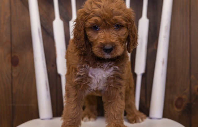 A litter of  Irish Doodles raised in Iowa by Poodles 2 Doodles