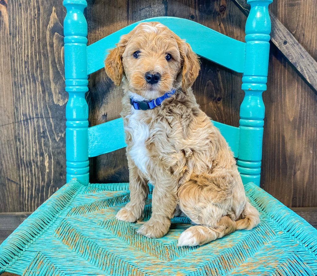 AJ is an F2B Goldendoodle that should have  and is currently living in Nebraska
