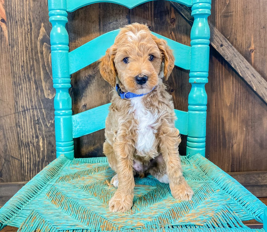 AJ came from Tatum and Teddy's litter of F2B Goldendoodles