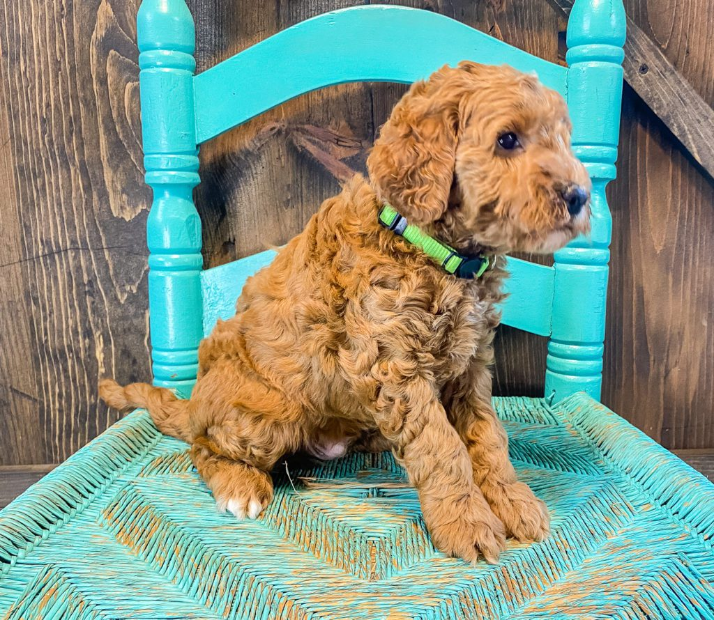 A picture of a Alexander, one of our Mini Goldendoodles for sale