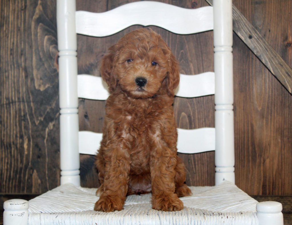 A picture of a Allison, one of our Mini Goldendoodles for sale