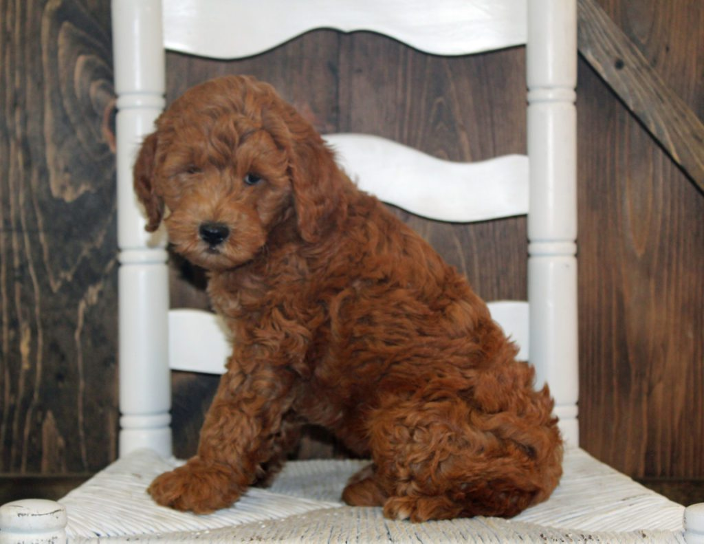 Allison came from Tatum and Teddy's litter of F2B Goldendoodles
