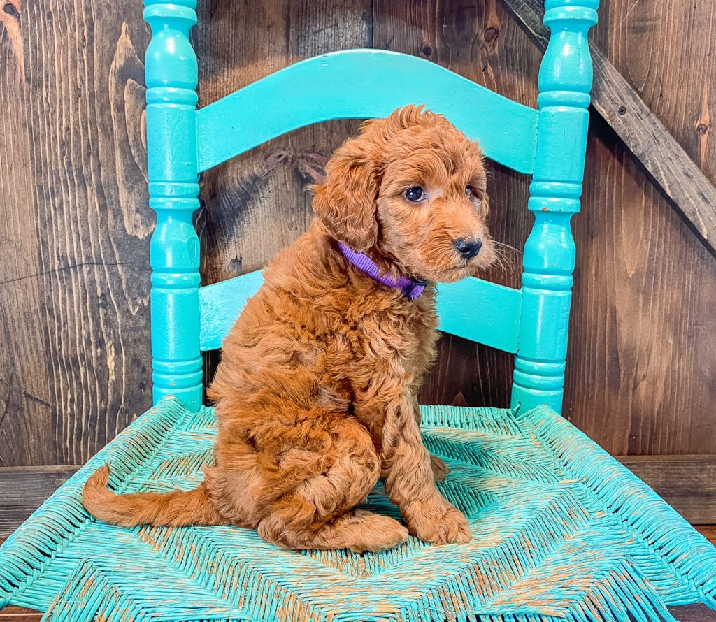 A picture of a Anna, one of our Mini Goldendoodles puppies that went to their home in Missouri
