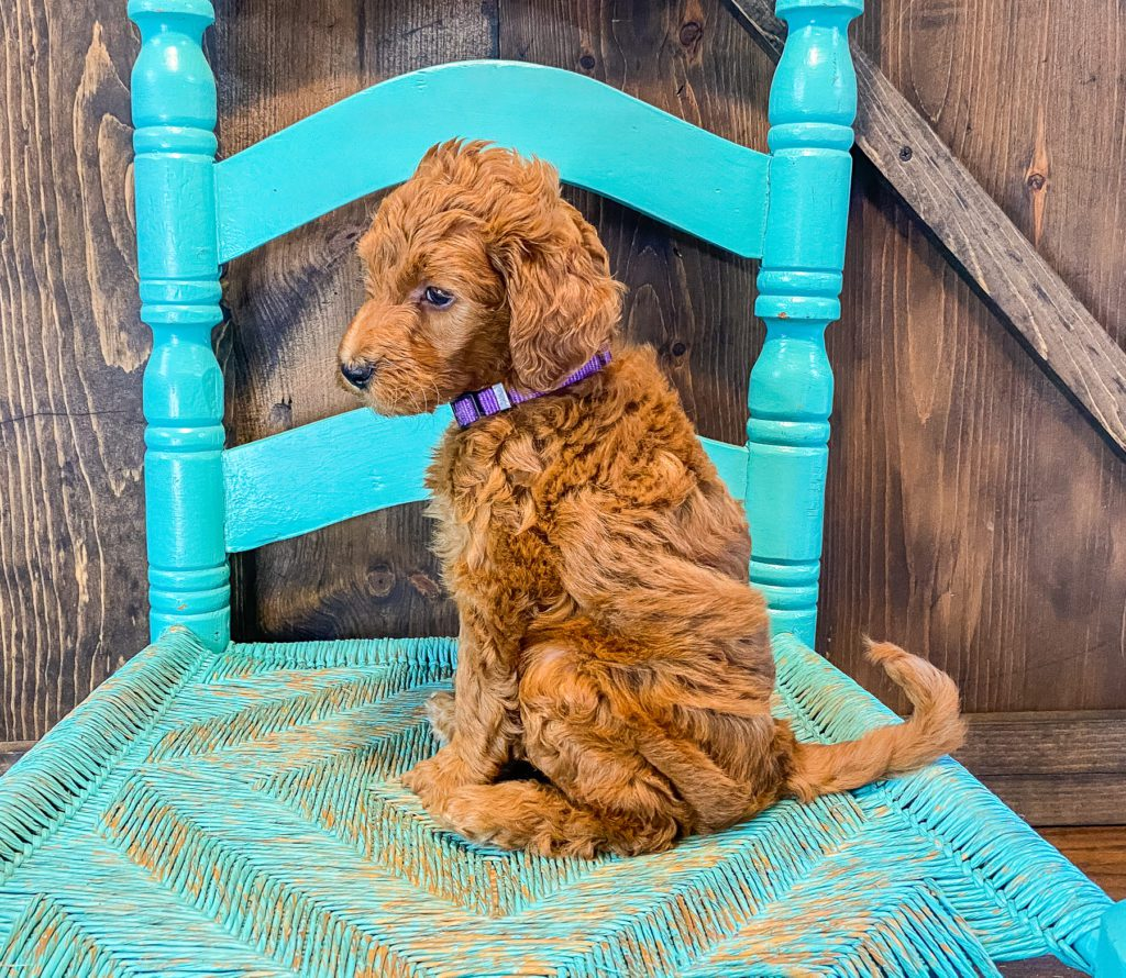 Anna is an F2B Goldendoodle that should have  and is currently living in Missouri