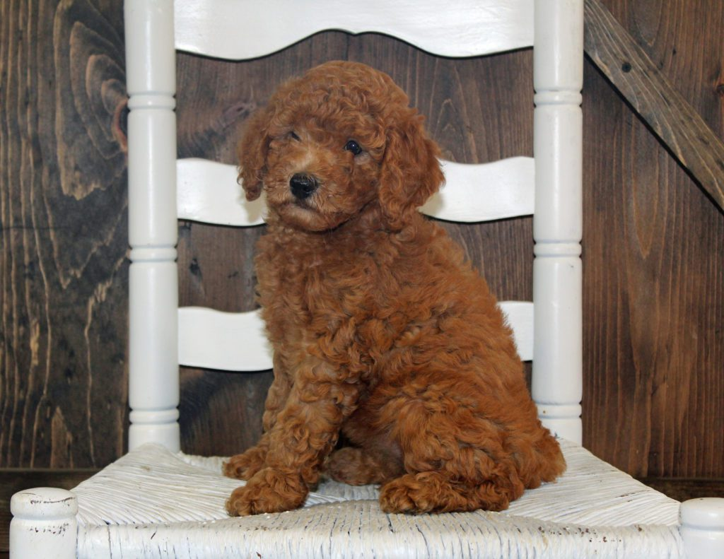 A picture of a Ava, one of our Mini Goldendoodles for sale