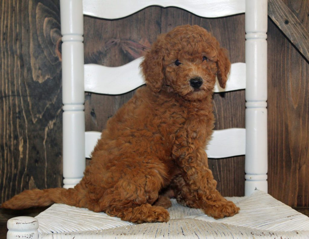 Ava is an F2B Goldendoodle.