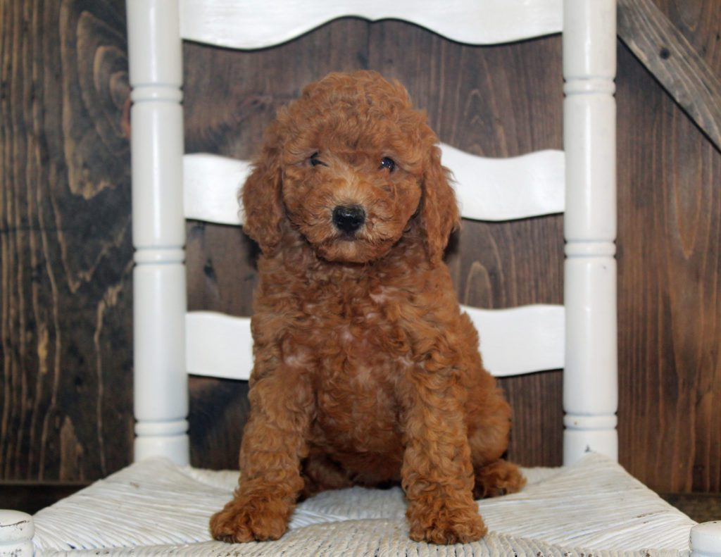 Ava came from Tatum and Teddy's litter of F2B Goldendoodles