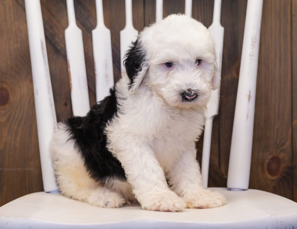 A picture of a Bailey, one of our  Sheepadoodles puppies that went to their home in Illinois