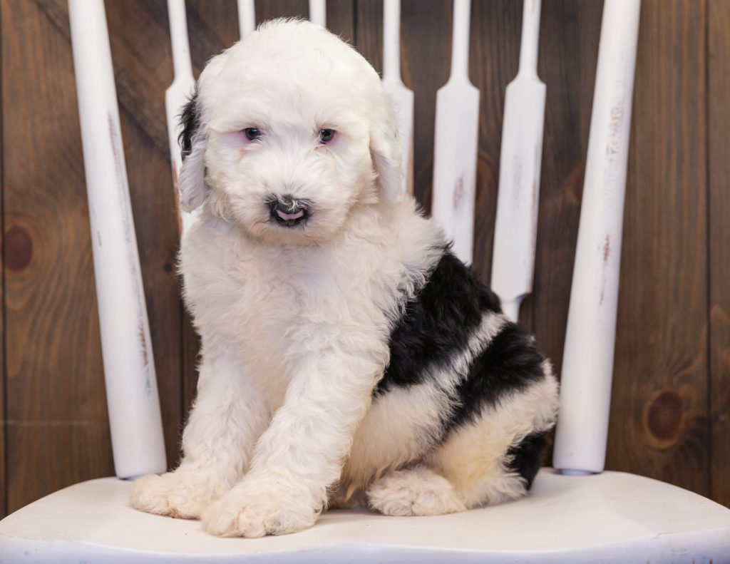 Bailey is an F1 Sheepadoodle that should have  and is currently living in Illinois