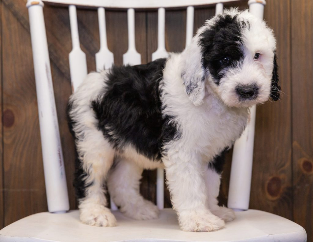 A picture of a Baker, one of our  Sheepadoodles puppies that went to their home in New York