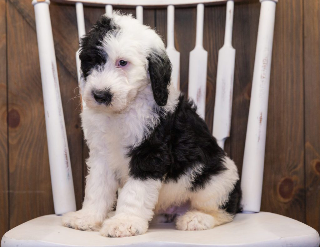 Baker is an F1 Sheepadoodle that should have  and is currently living in New York