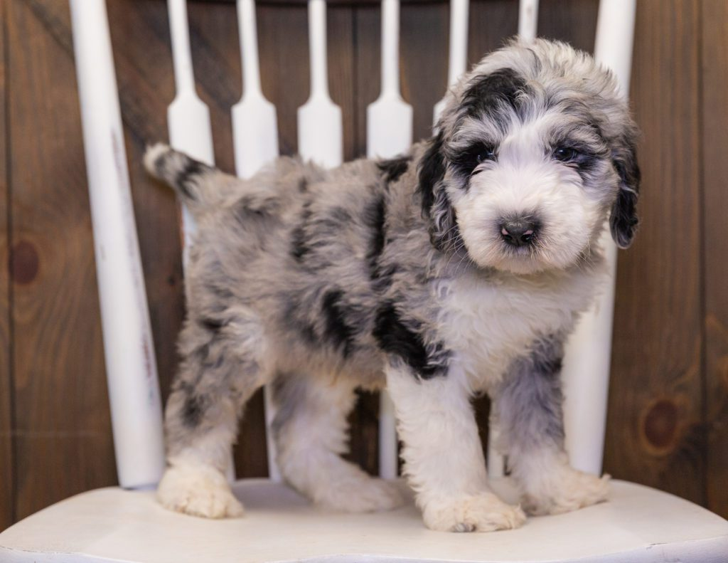 A picture of a Baldo, one of our  Sheepadoodles puppies that went to their home in Tennessee