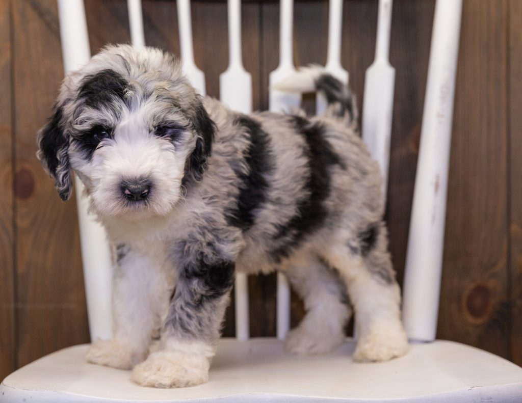 Baldo is an F1 Sheepadoodle that should have  and is currently living in Tennessee