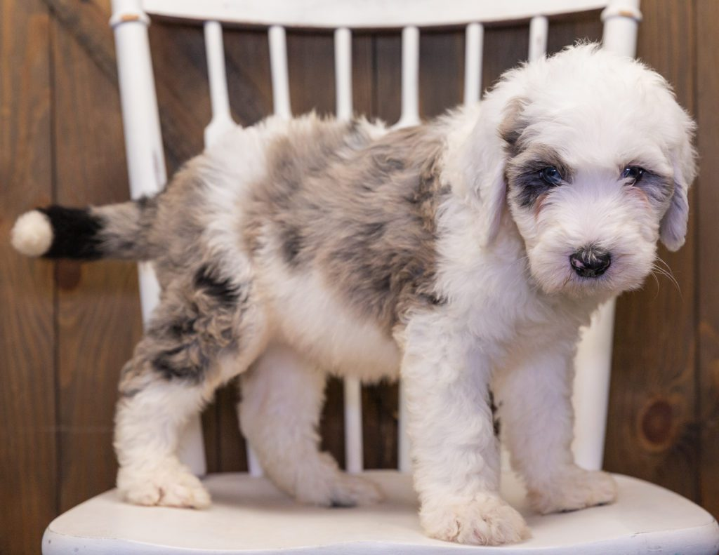 A picture of a Balto, one of our  Sheepadoodles puppies that went to their home in New Jersey