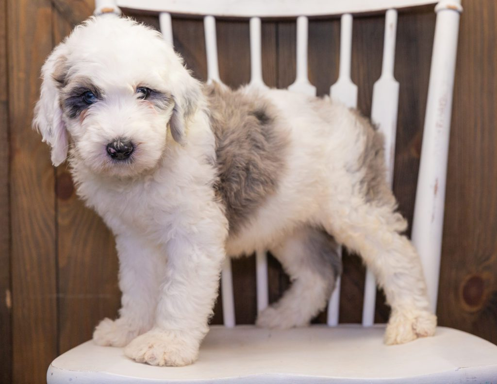 Balto is an F1 Sheepadoodle that should have  and is currently living in New Jersey