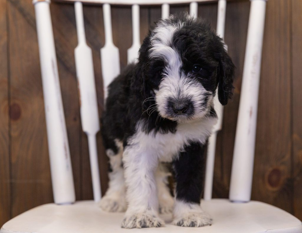 Bama came from Annie and Merlin's litter of F1 Sheepadoodles