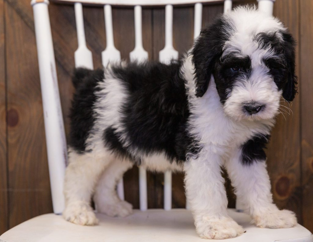 A picture of a Bart, one of our  Sheepadoodles puppies that went to their home in Illinois