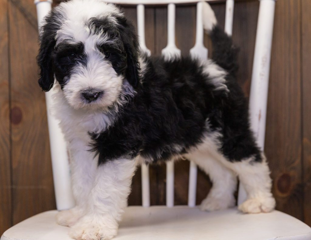 Bart is an F1 Sheepadoodle that should have  and is currently living in Illinois