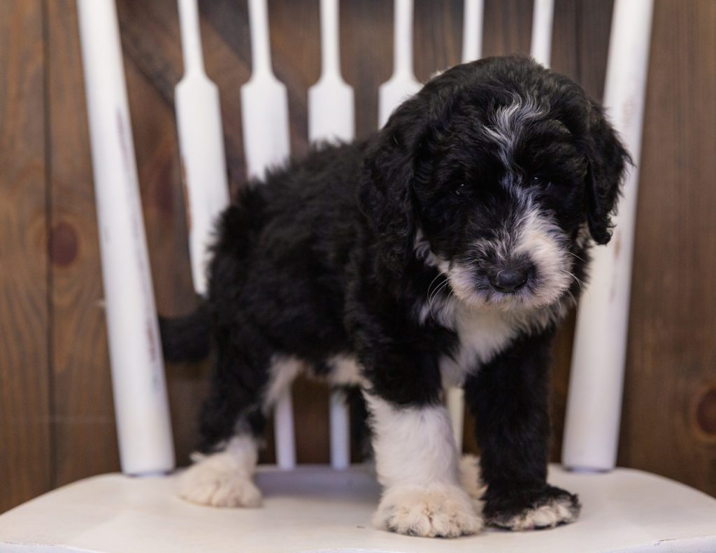 A picture of a Baylin, one of our  Sheepadoodles for sale