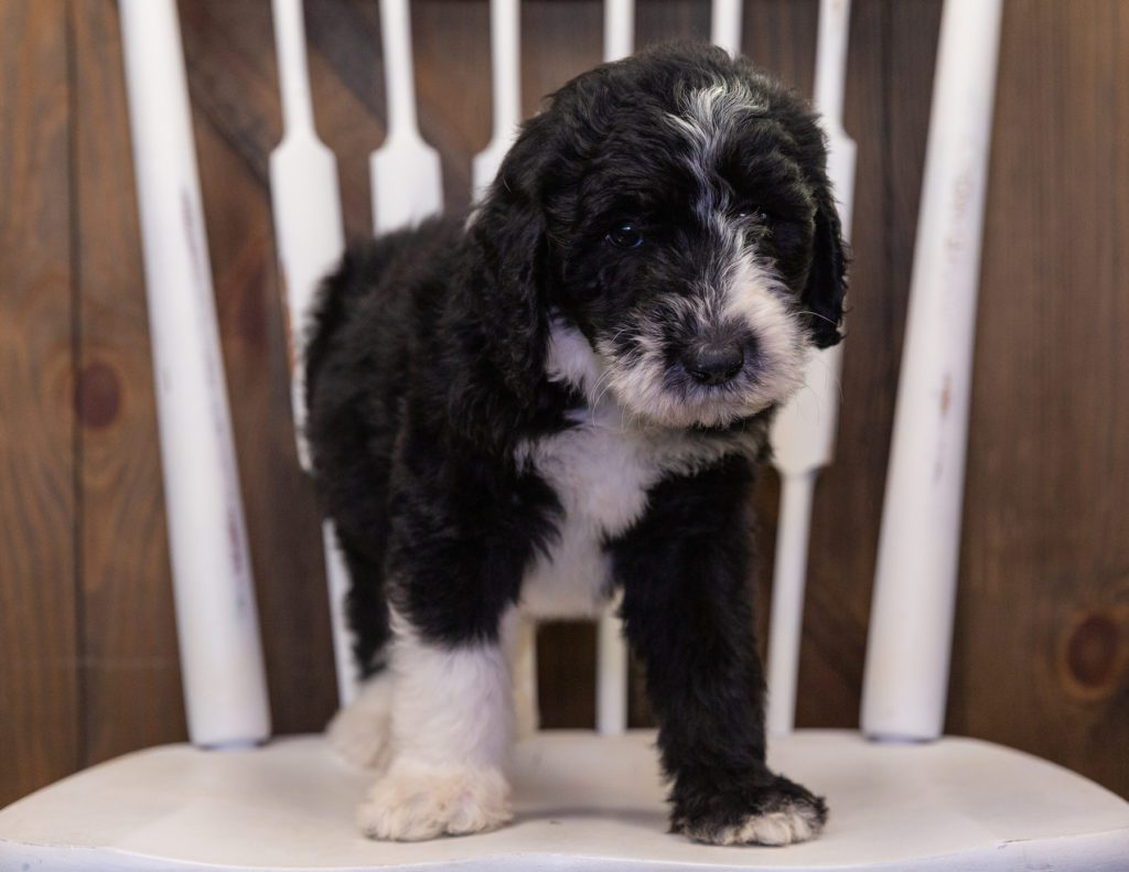 Baylin came from Annie and Merlin's litter of F1 Sheepadoodles