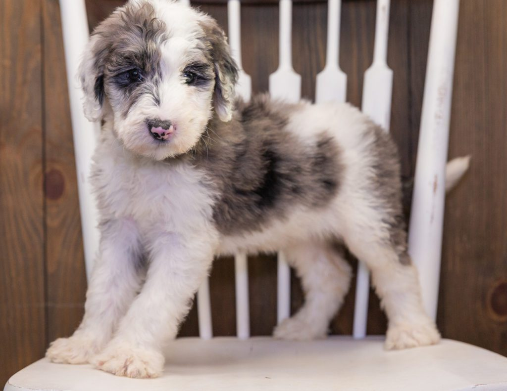 Bee is an F1 Sheepadoodle that should have  and is currently living in Illinois