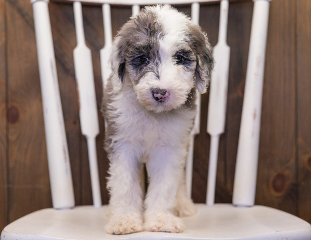 Bee came from Annie and Merlin's litter of F1 Sheepadoodles
