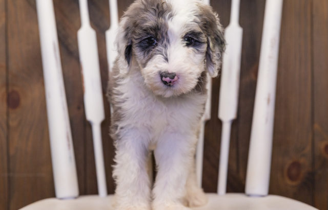 A litter of  Sheepadoodles raised in Iowa by Poodles 2 Doodles