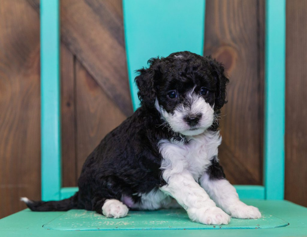 A picture of a Callie, one of our Petite Sheepadoodles puppies that went to their home in Nebraska