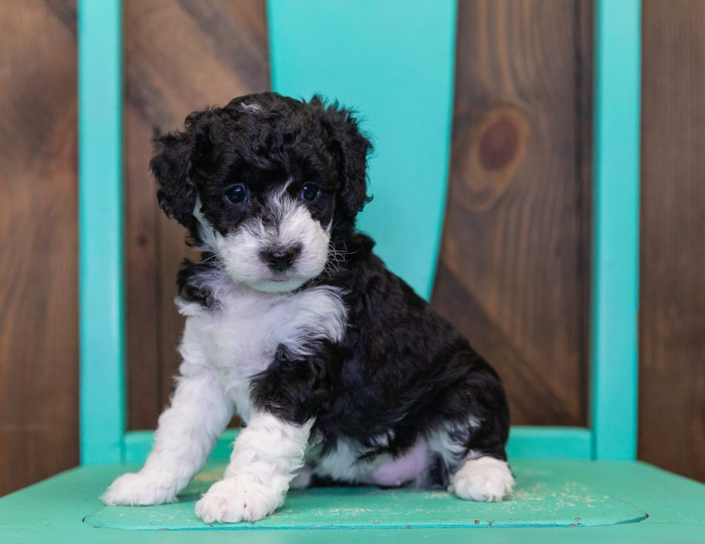 Callie is an F1B Sheepadoodle that should have  and is currently living in Nebraska
