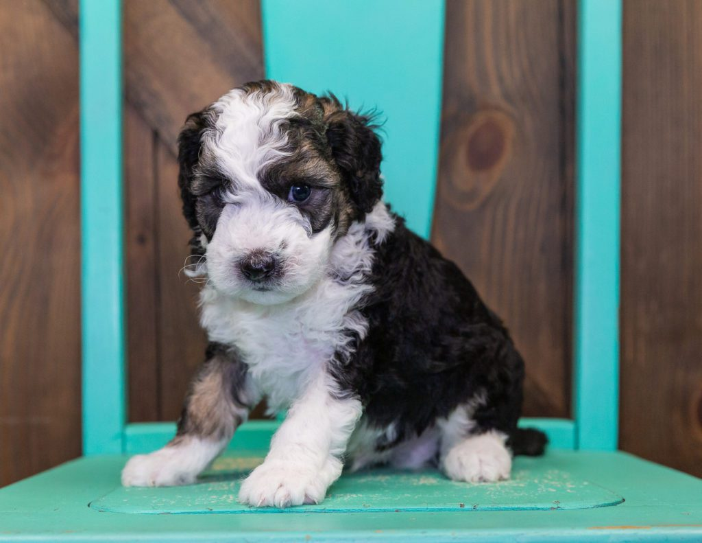 Camo is an F1B Sheepadoodle that should have  and is currently living in Minnesota