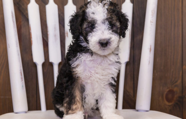 A litter of Petite Sheepadoodles raised in Iowa by Poodles 2 Doodles