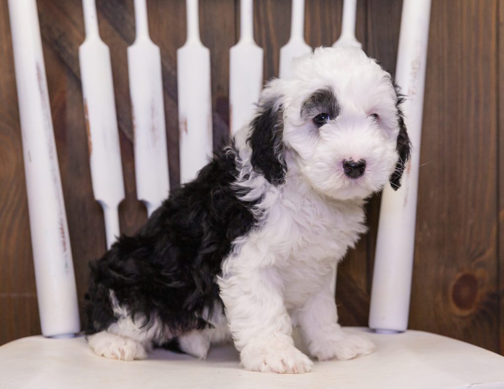 A picture of a Carly, one of our Petite Sheepadoodles puppies that went to their home in Indiana
