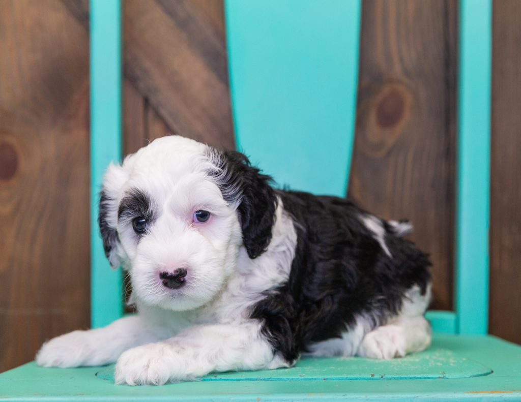 Carly is an F1B Sheepadoodle that should have  and is currently living in Indiana