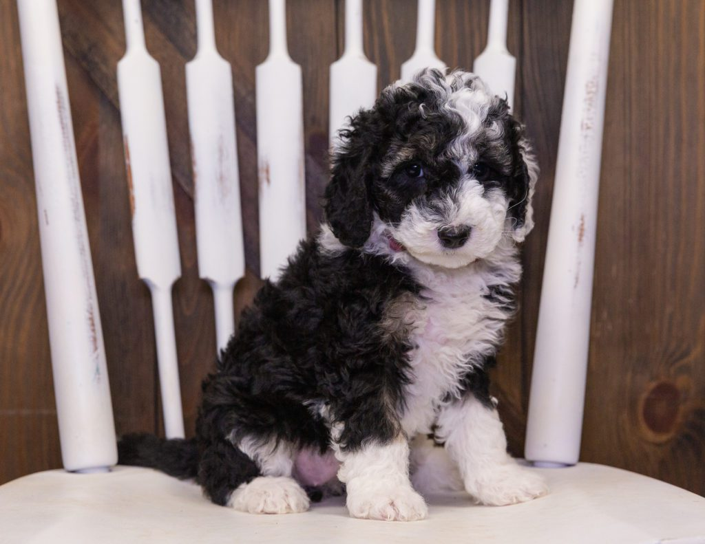 A picture of a Claire, one of our Petite Sheepadoodles puppies that went to their home in Wisconsin