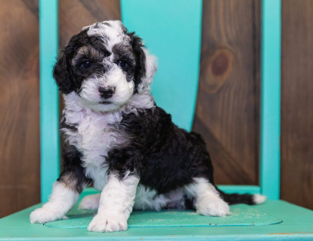 Claire is an F1B Sheepadoodle that should have  and is currently living in Wisconsin