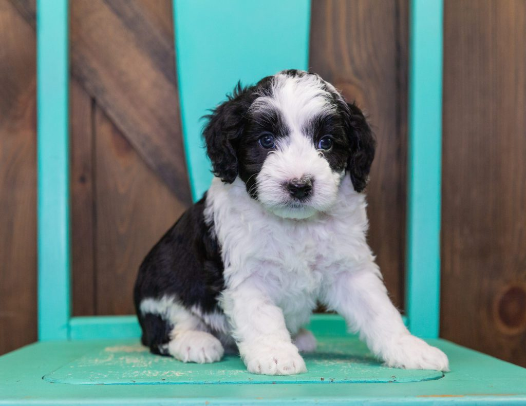 A picture of a Clark, one of our Petite Sheepadoodles puppies that went to their home in New Jersey