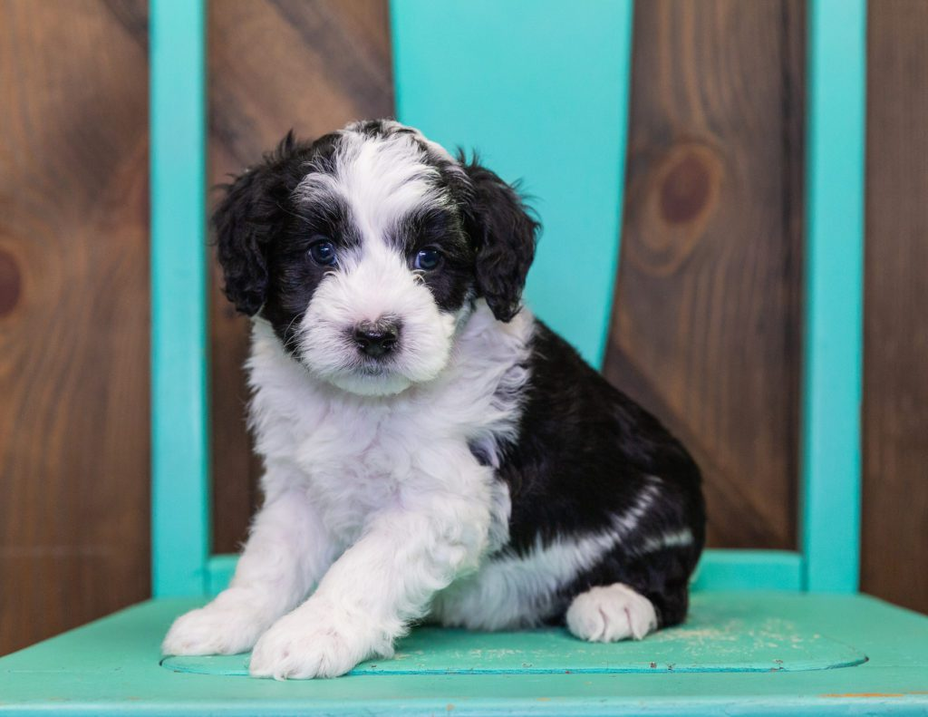 Clark is an F1B Sheepadoodle that should have  and is currently living in New Jersey