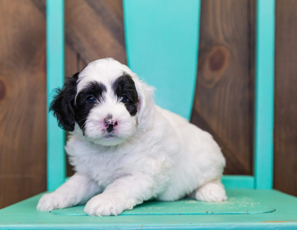 Coby is an F1B Sheepadoodle.