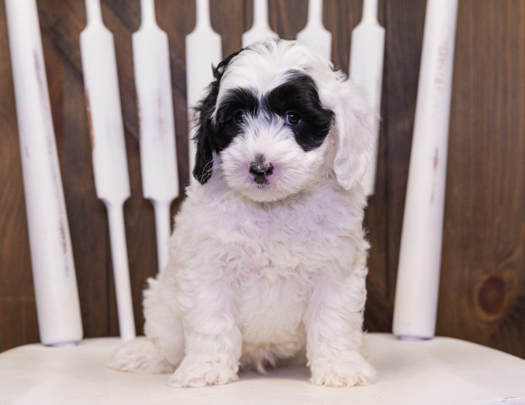 Coby came from Harlee and Parker's litter of F1B Sheepadoodles