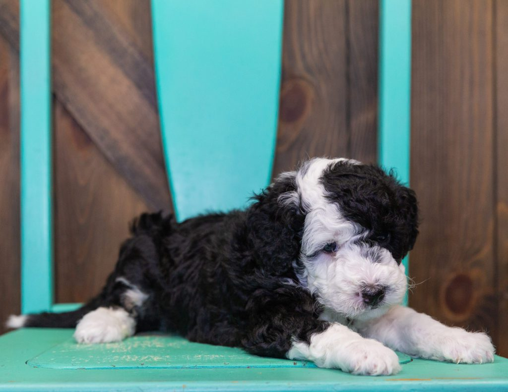A picture of a Coco, one of our Petite Sheepadoodles puppies that went to their home in California