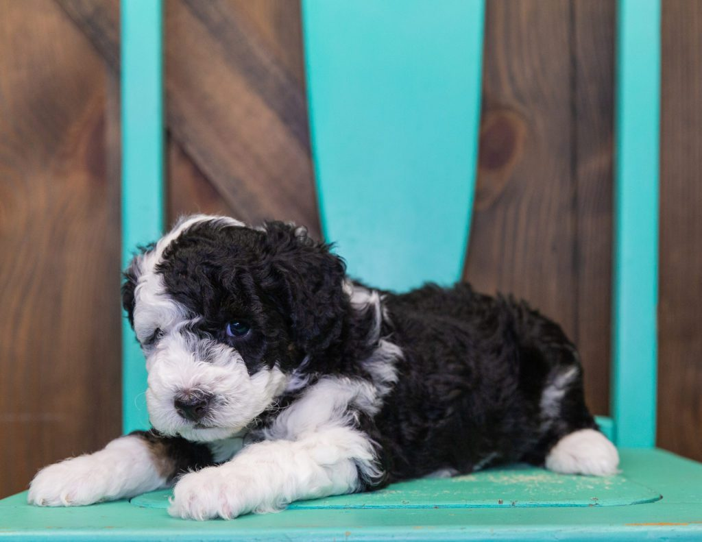 Coco is an F1B Sheepadoodle that should have  and is currently living in California