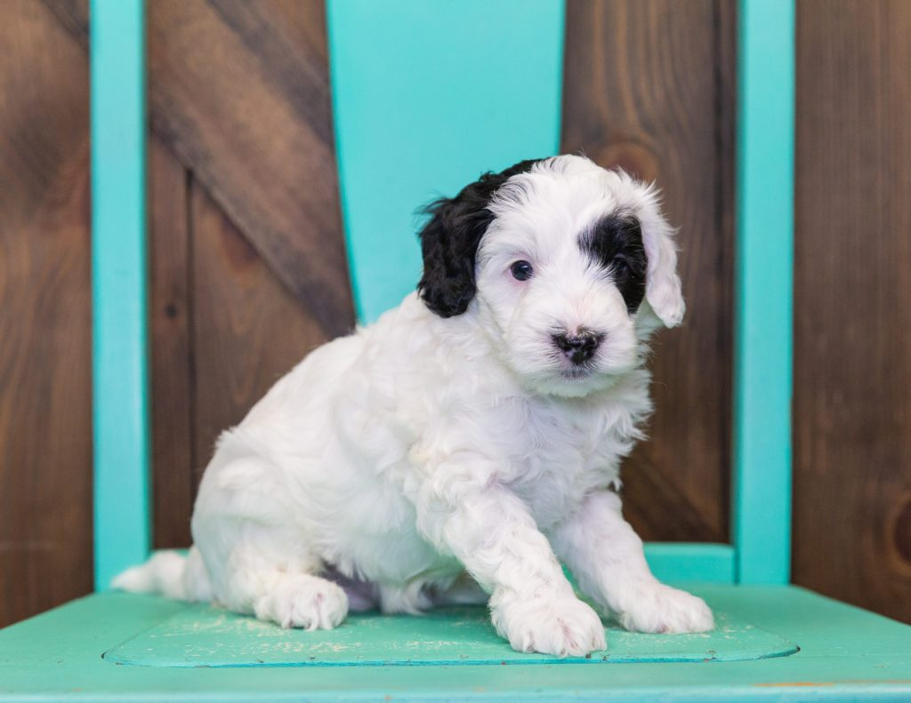 A picture of a Colt, one of our Petite Sheepadoodles for sale
