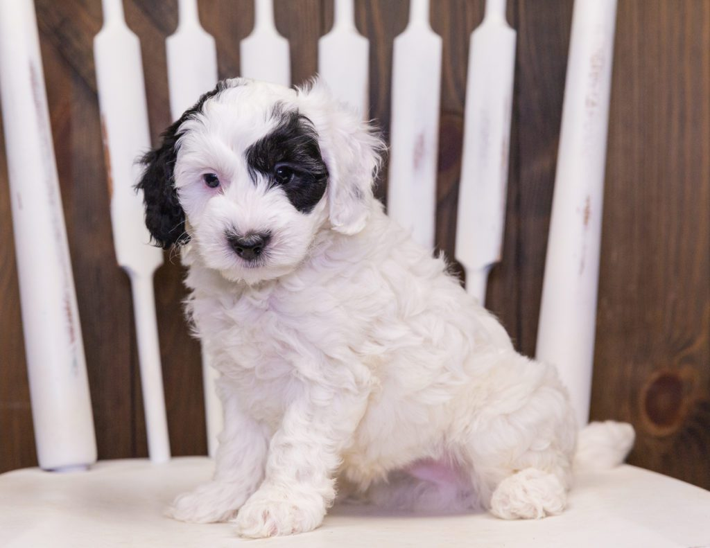 Colt is an F1B Sheepadoodle.