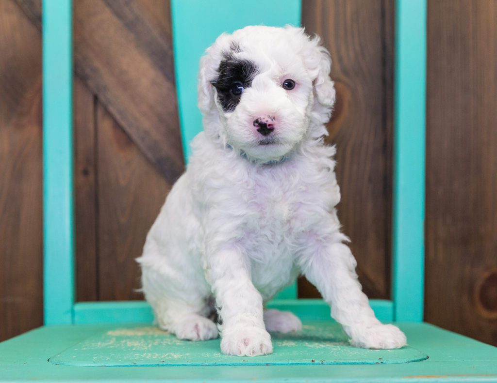 Our cute Petite Sheepadoodles available for sale!