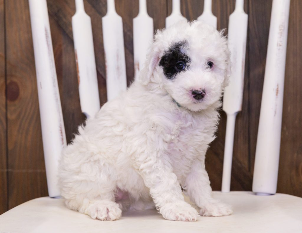 A picture of a Cruz, one of our Petite Sheepadoodles puppies that went to their home in Illinois