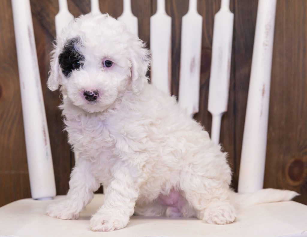 Cruz is an F1B Sheepadoodle that should have  and is currently living in Illinois