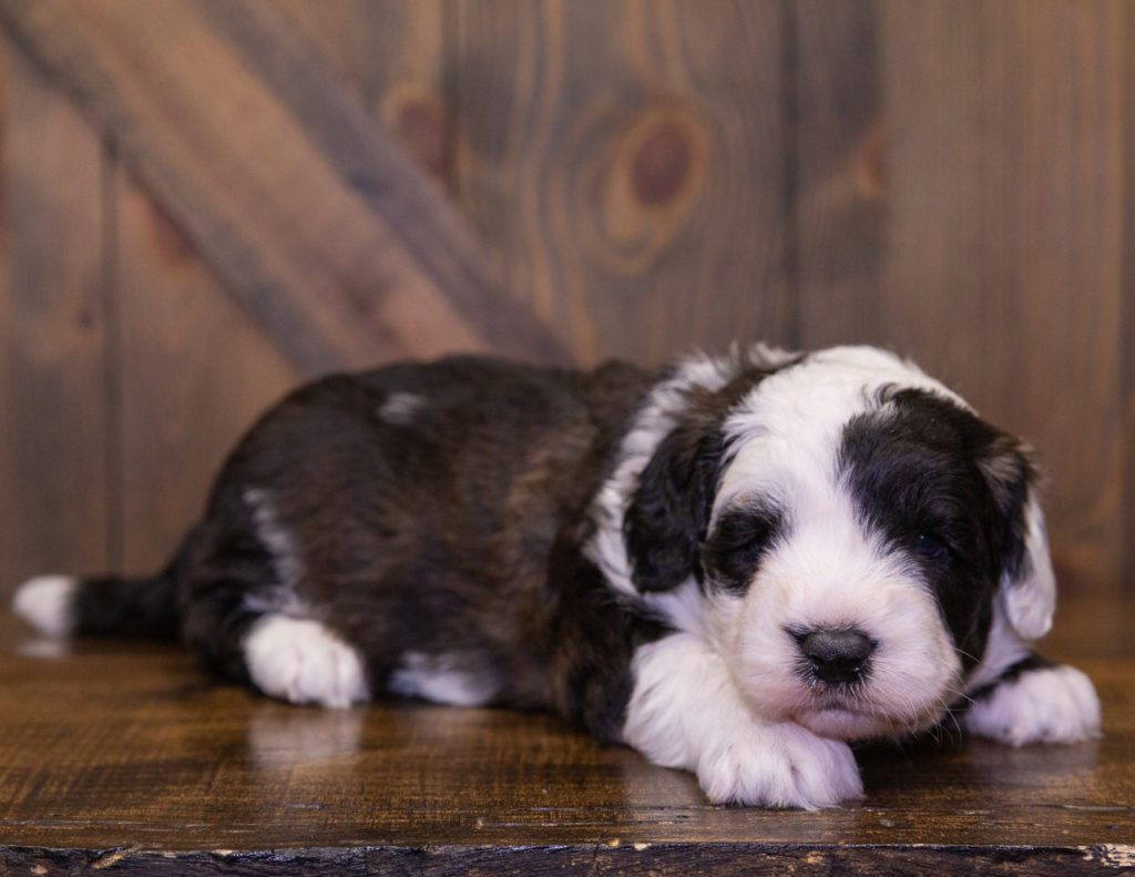 A picture of a Dakota, one of our Mini Sheepadoodles for sale