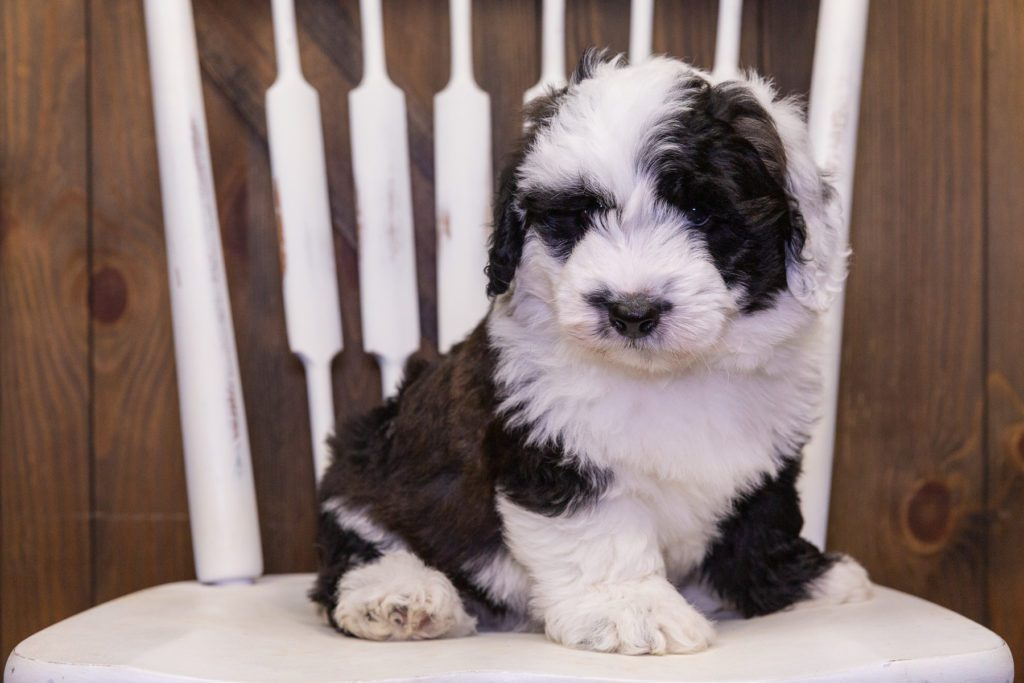 A picture of a Dakota, one of our Mini Sheepadoodles puppies that went to their home in Wisconsin
